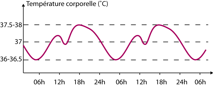 Variation schématique de la température corporelle au cours de la journée.